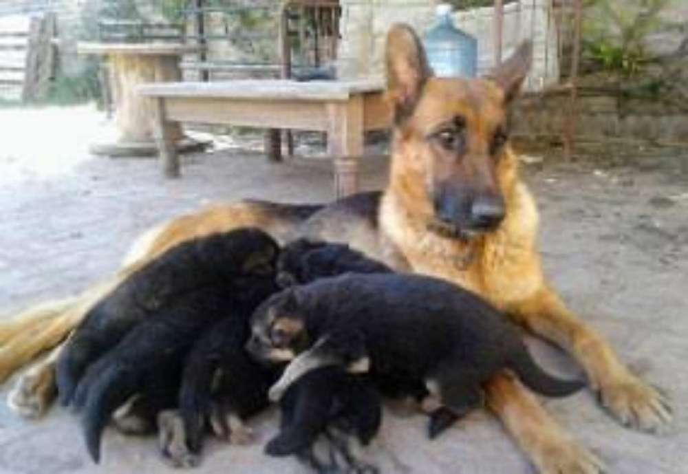 <strong>cachorro</strong>s Pastor Aleman Bonita Camada