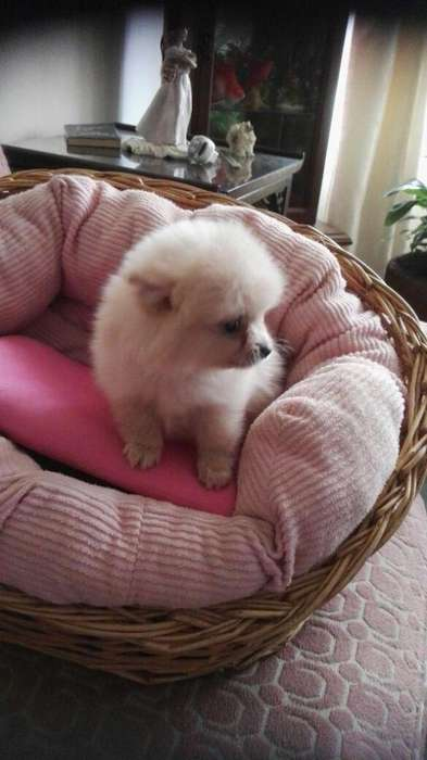 Autnticos cachorros pomerania Cel 3177448419 whatsapp