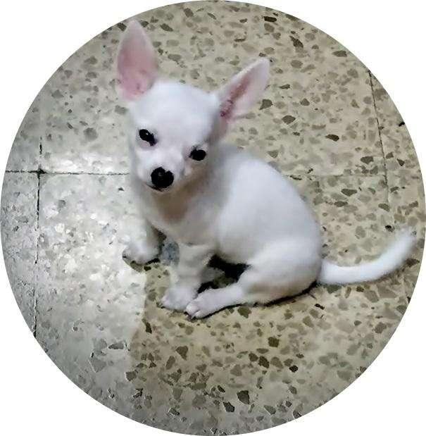 Se vende Chiguagua toy macho blanco