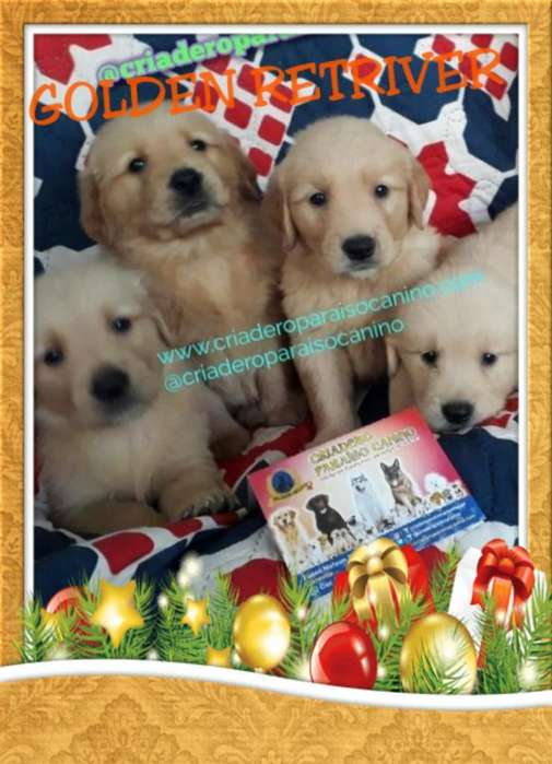 Cachorritos Golden Retriver