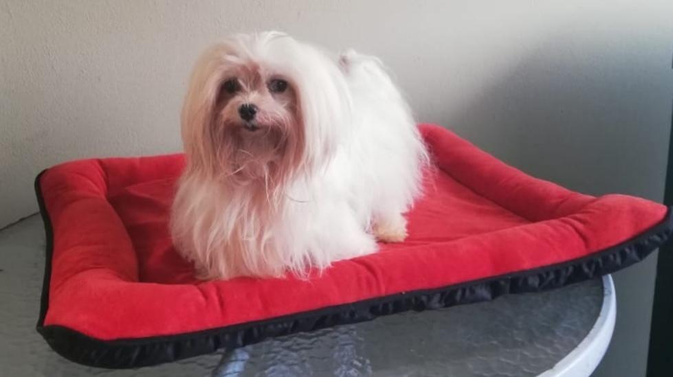 Bichon Maltes Servicio de Monta y Cachorros Disponibles