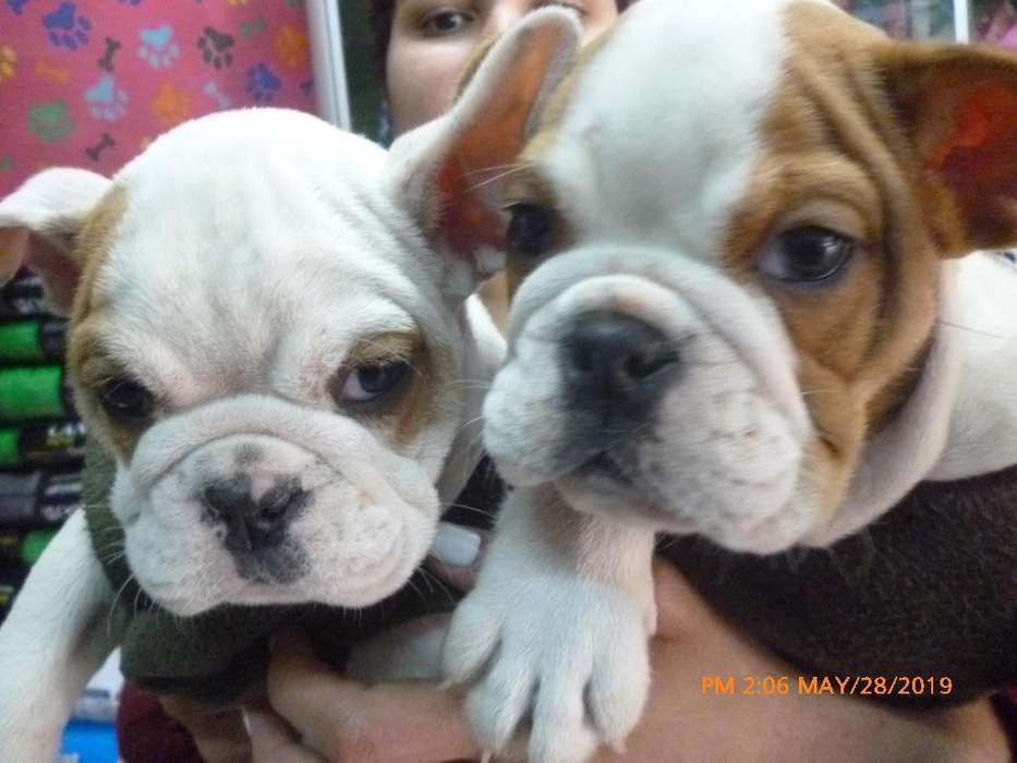 bulldog ingles cachorros a1 padres pedigri dorado 991700816 veterinaria-criadero