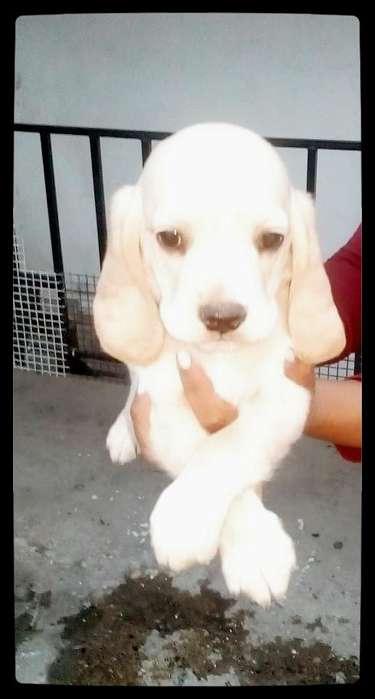 Cachorro <strong>beagle</strong> dorado