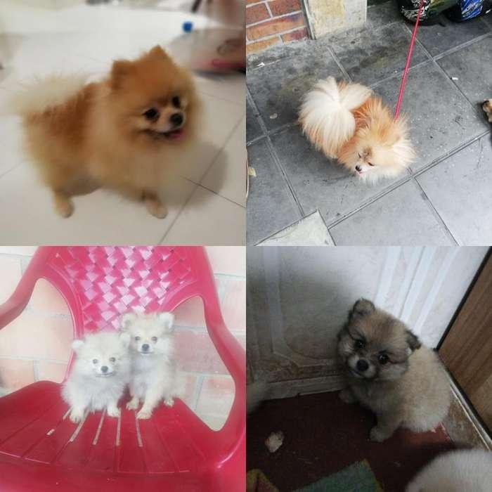 Pomeranias Disponibles