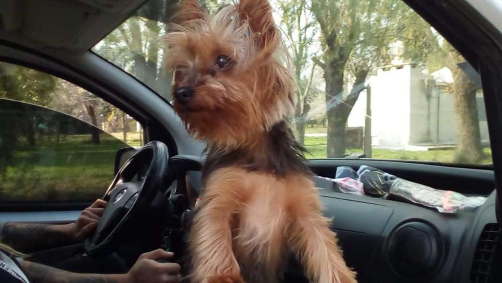 Yorkshire Terrier Mini para Servicio