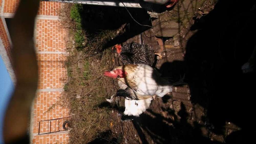 Gallos nuevos pisando 2215702692
