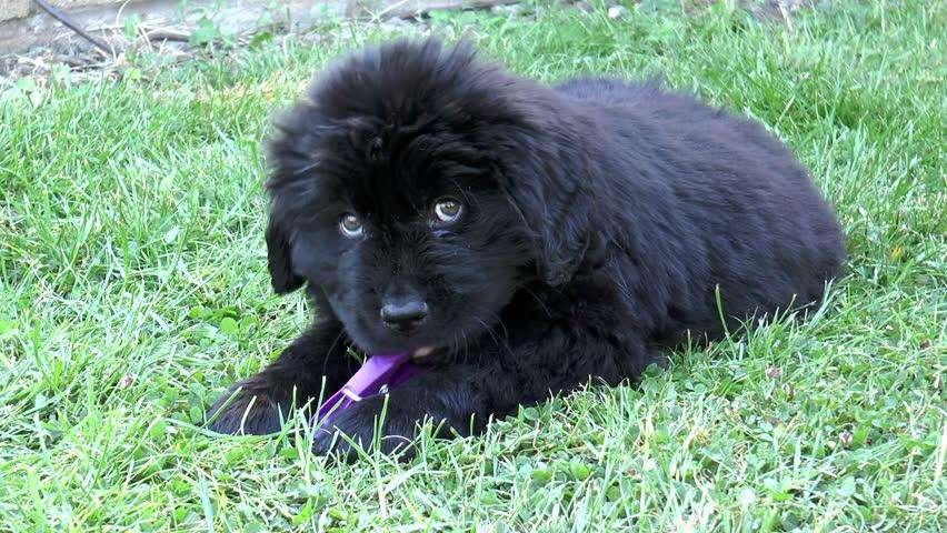 venta perros terranova negro <strong>cachorro</strong>s