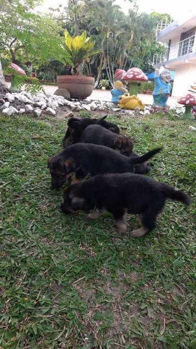 Cachorros Pastor Aleman Disponibles