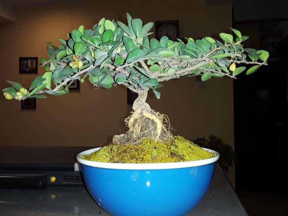 gimnospolia makko japones bonsai