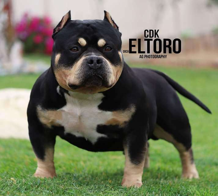 Real american bully