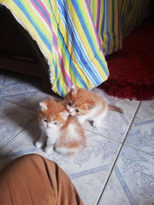 Gatos Semi Persas