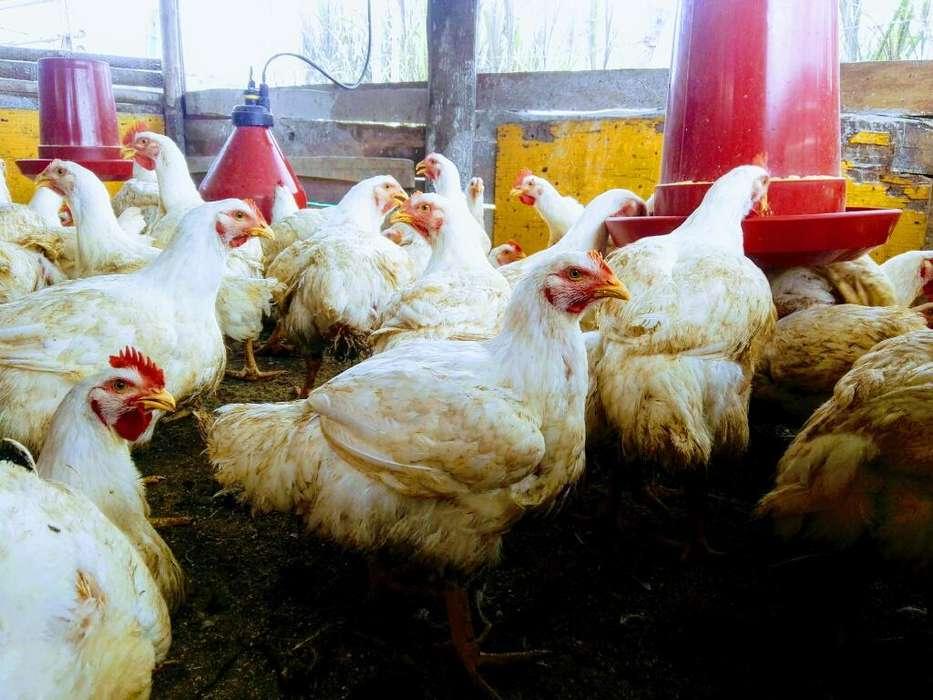 Pollos de Engorde 3.000 La Libra en Pie