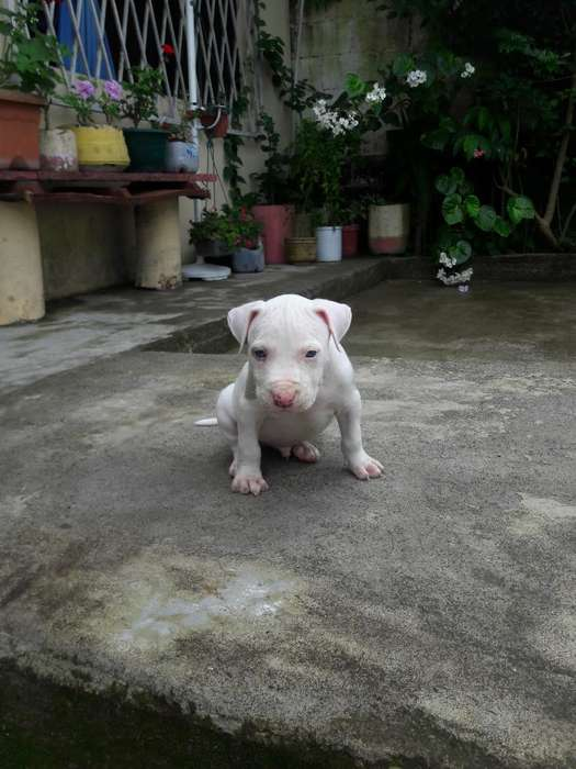 <strong>cachorro</strong>s Pitbull Silver Blue