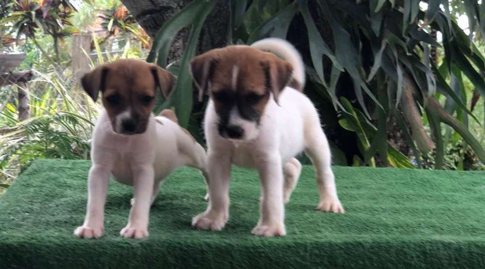 Jack Russell <strong>terrier</strong>