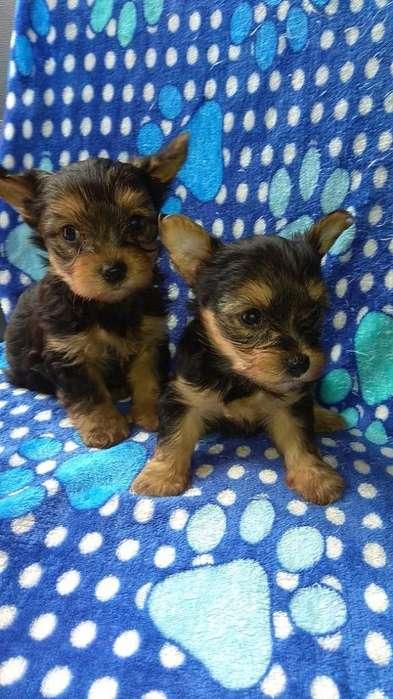 Machos Yorkshire Terrier