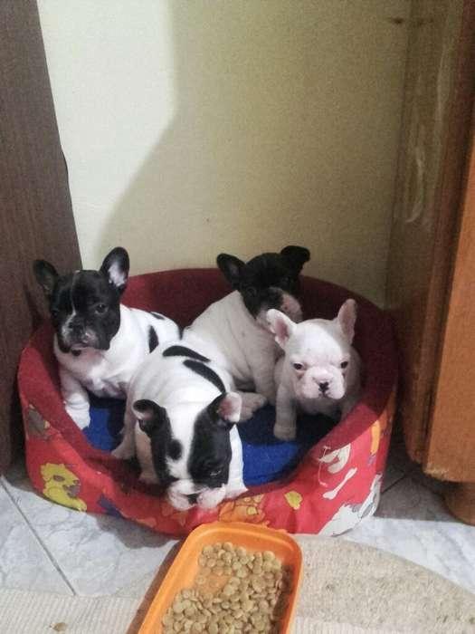 Bulldog Francés con Fca Y Chipiados.