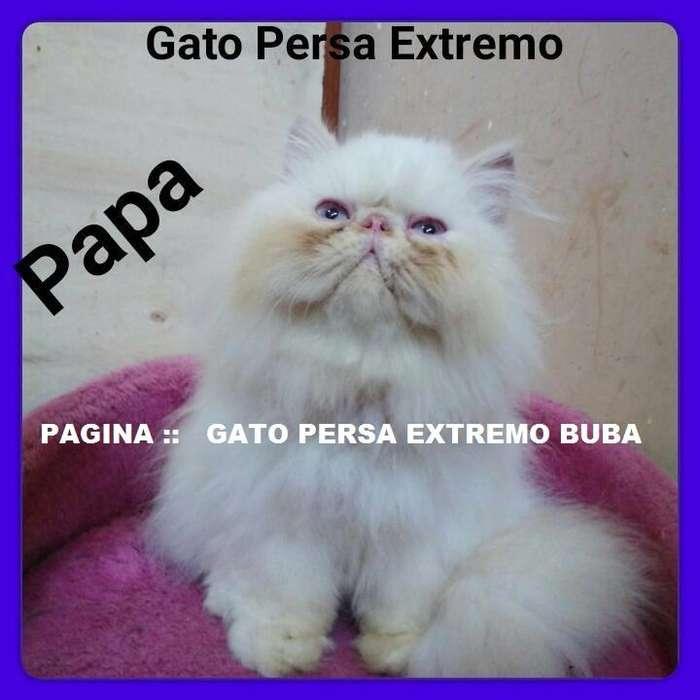 Gato Persa Extremo Brinda Servicio De Monta ::::::::::::LINEA ARGENTINA