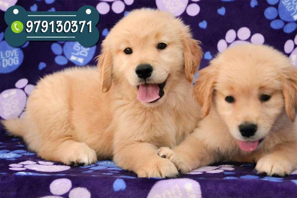 Preciosos Cachorros Golden Retriever Vacunados *Pague con Tarjetas de Crédito o Efectivo