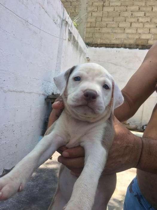 <strong>perros</strong> Pitbull