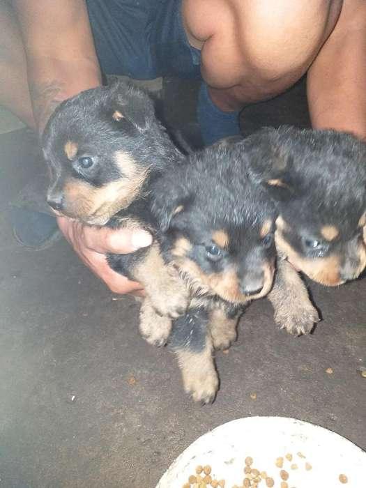 Últimos 2 Cachorros de Rottwailer