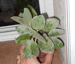Kalanchoe bracteata maceta 10
