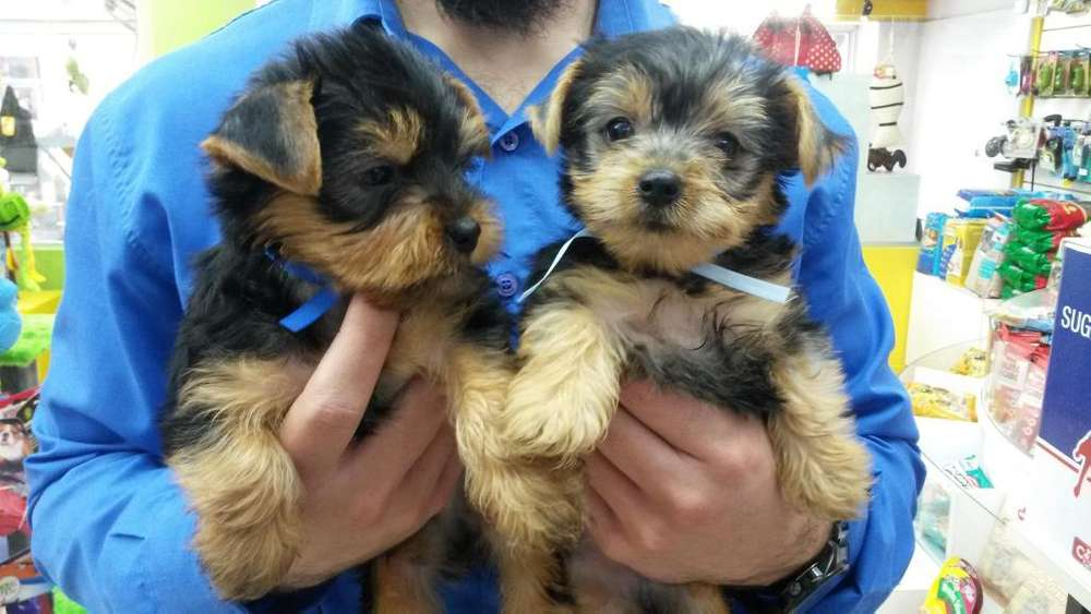 Yorkshire terrier hermosos! venta en veterinaria