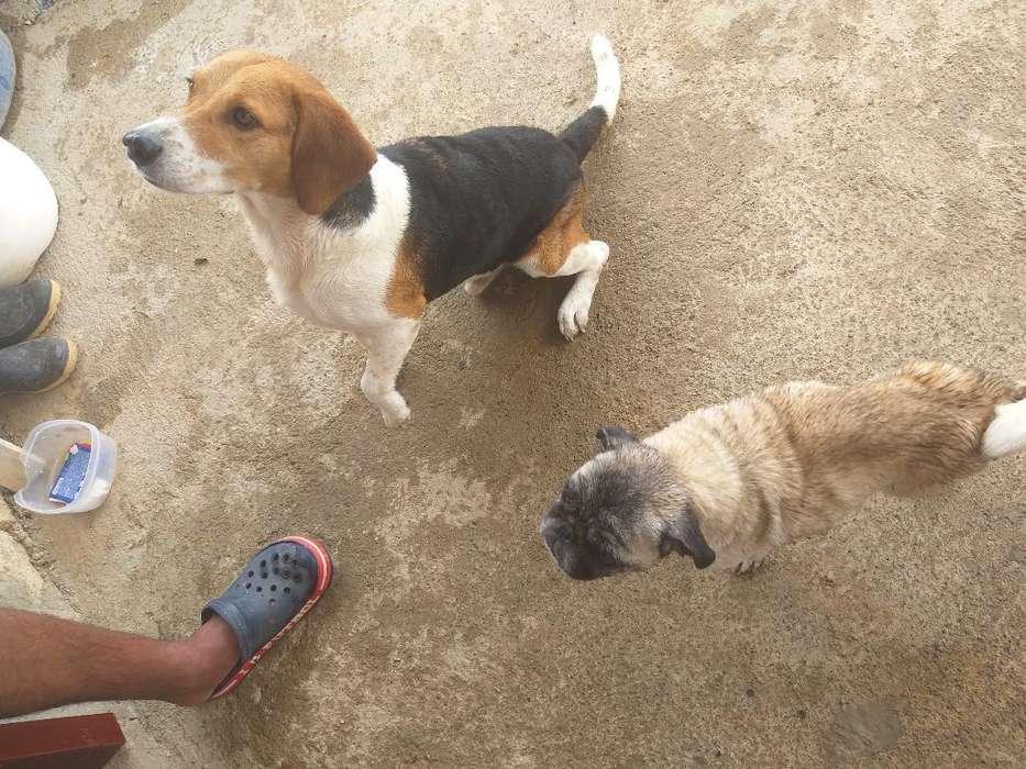 Beagle para Monta
