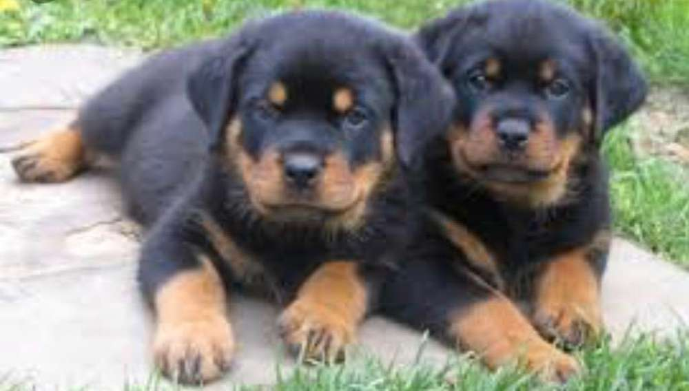 Cachorros Perritos Rottweiler