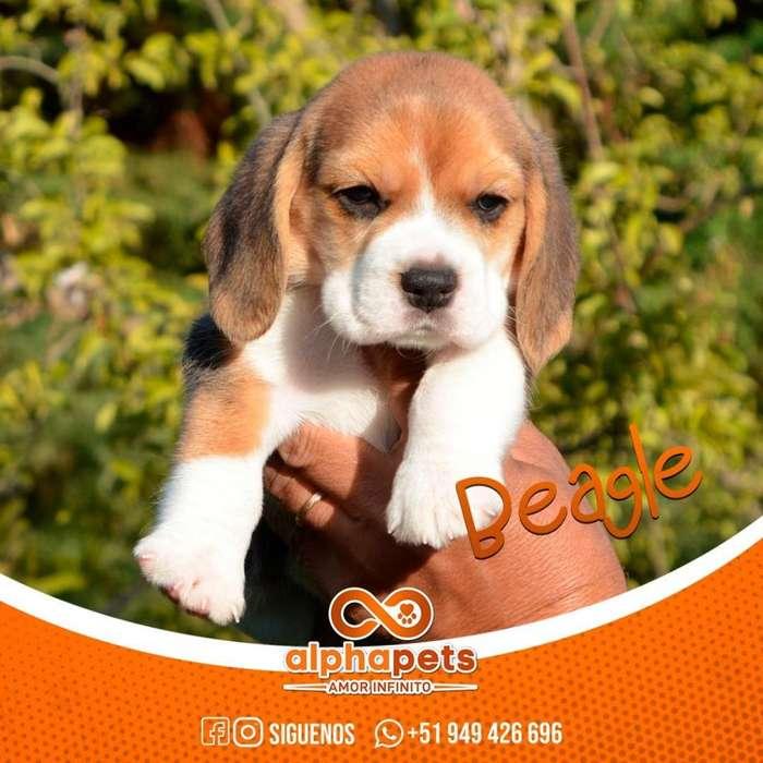 BEAGLE <strong>cachorro</strong>S DE LAS MEJORES LINEAS § EXTRAORDINARIOS§