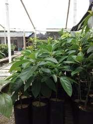 Venta de Colino de Aguacate Y Cacao