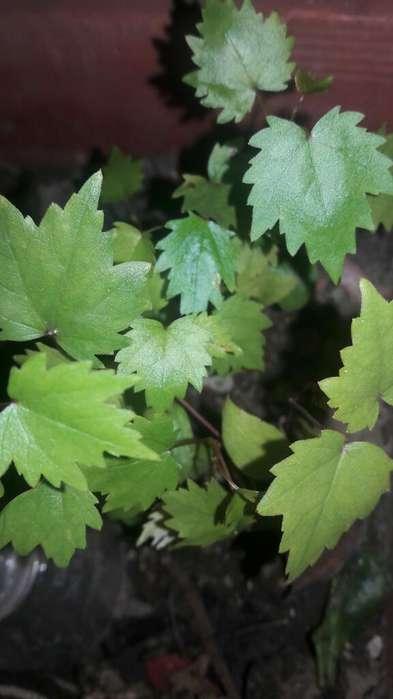 Plantines de Parra