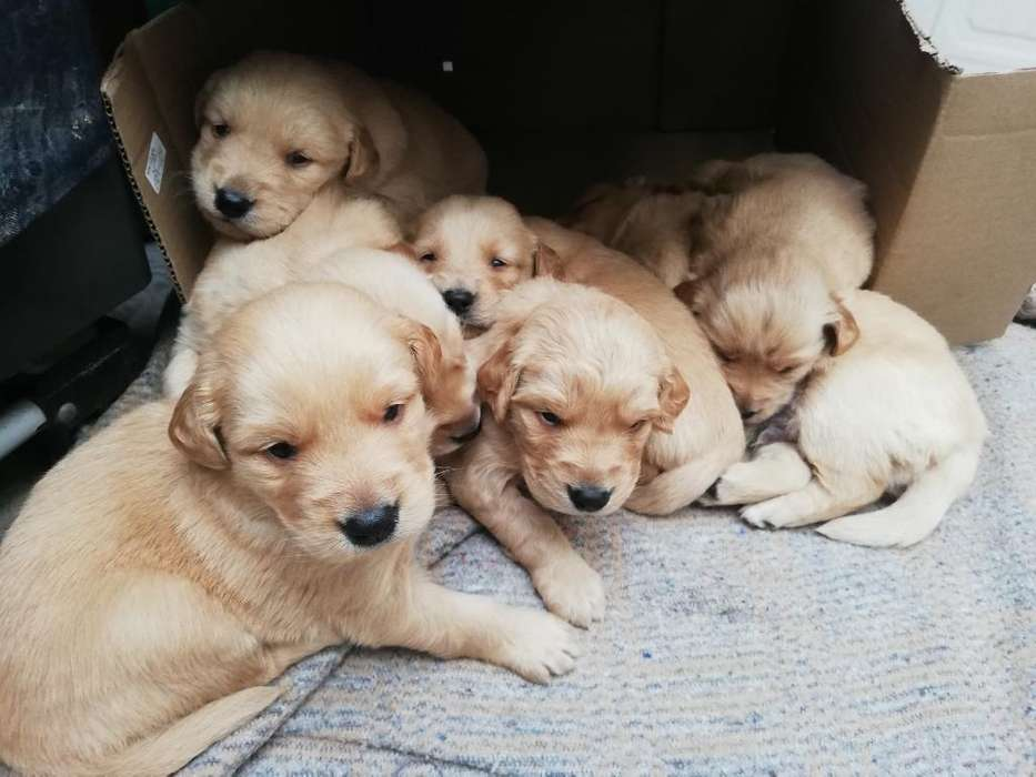<strong>perros</strong> Golden