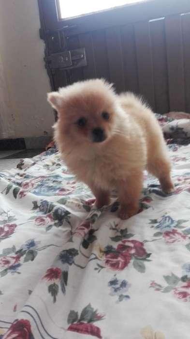 Autenticos <strong>cachorro</strong>s pomerania Cel 3177448419 (whatsapp)