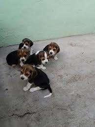 bellos mini <strong>beagle</strong>