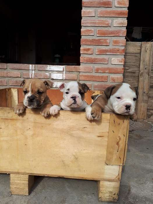 Vendo Bulldog Ingles
