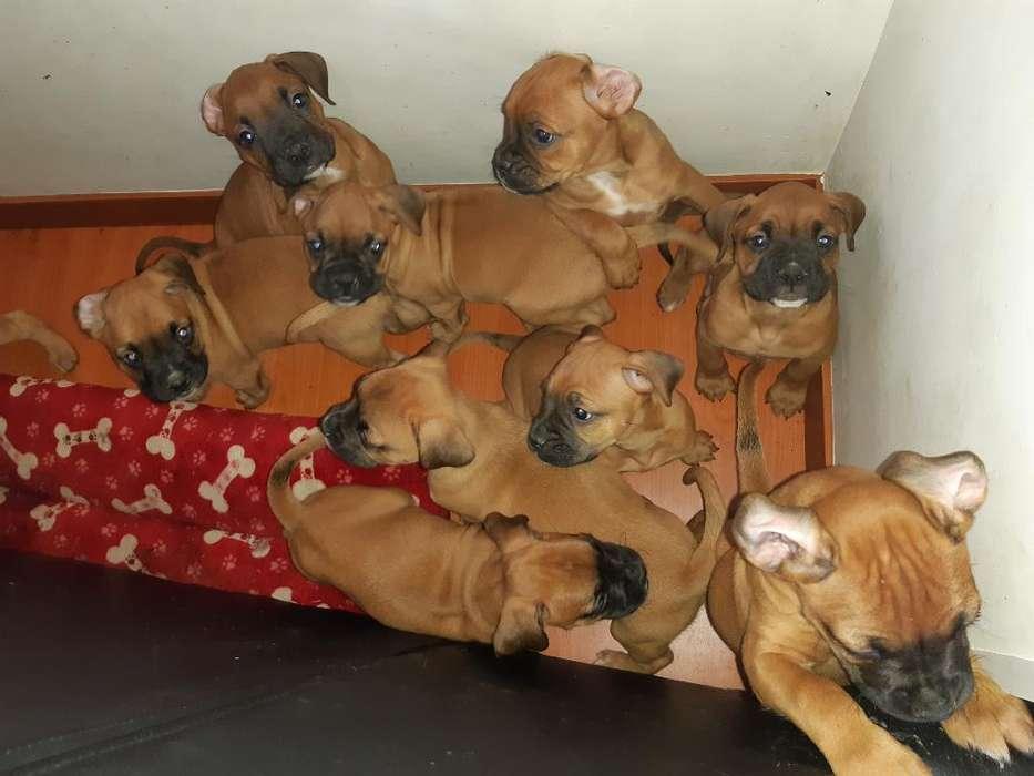 Hermosos Cachorros Boxer.