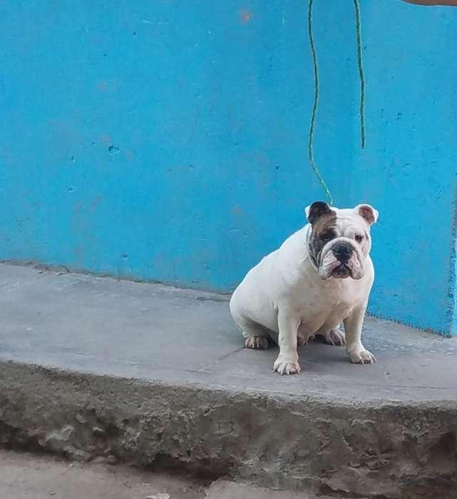 Bulldog Ingles Hembra
