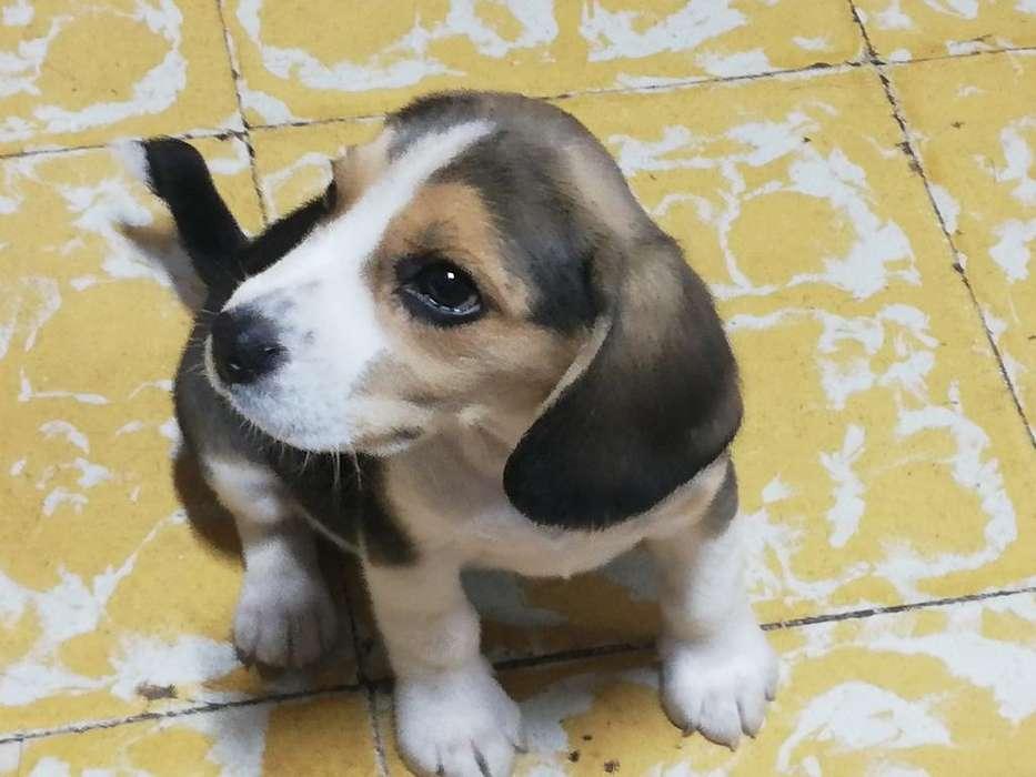 Se Vende Beagle Hembra