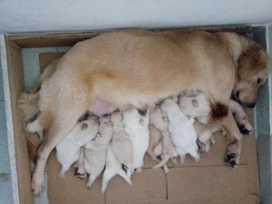 Cachorros Golde Retriever
