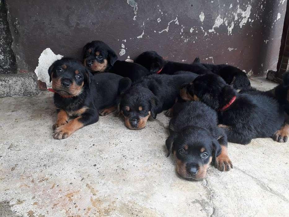 Cachorros Rottweiller