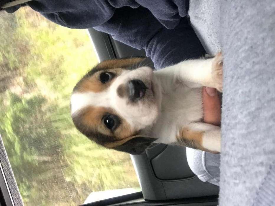 Cachorro <strong>beagle</strong>