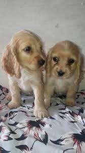bellos cachorros cocker spaniel