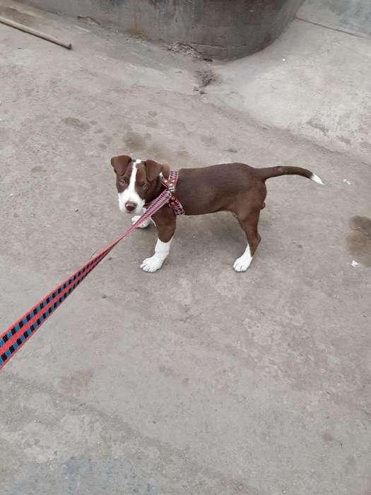 Vendo <strong>pitbull</strong> Cachorro