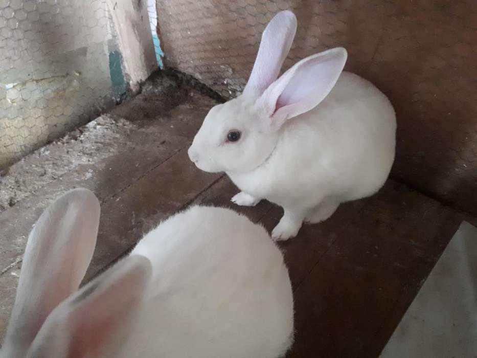 Conejos de 60 Dias