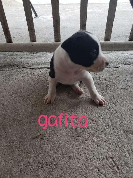 Vendo Cachorra Pitbull Negociable