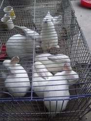 Conejos neozelandeses con californianos