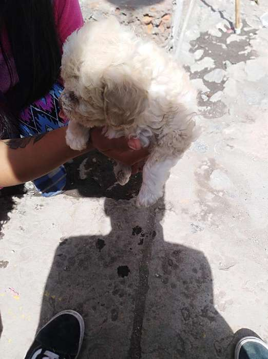 Se Vende <strong>cachorro</strong>s French Poodle
