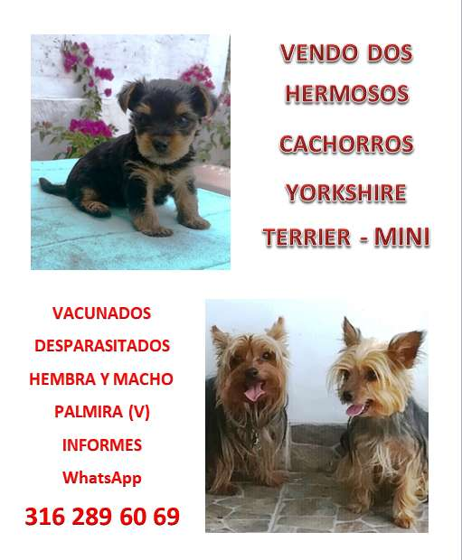HERMOSOS <strong>cachorro</strong>S YORKIE