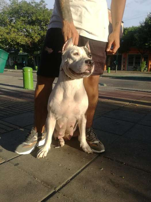 Vendo <strong>cachorro</strong>s American Staffordshire Terrier