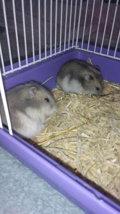 Jaula Y Pareja de Hamsters Rusos